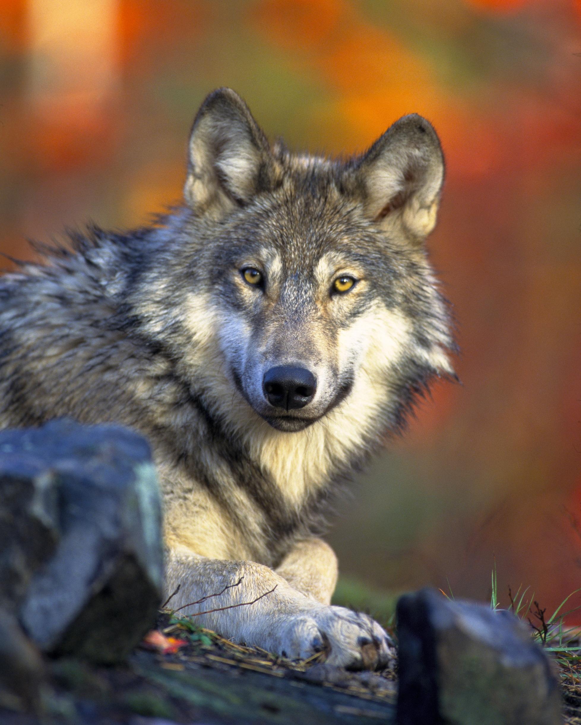 Wölfe erleben auf der Wanderreise Wildnis Deutschland Die Landpartie