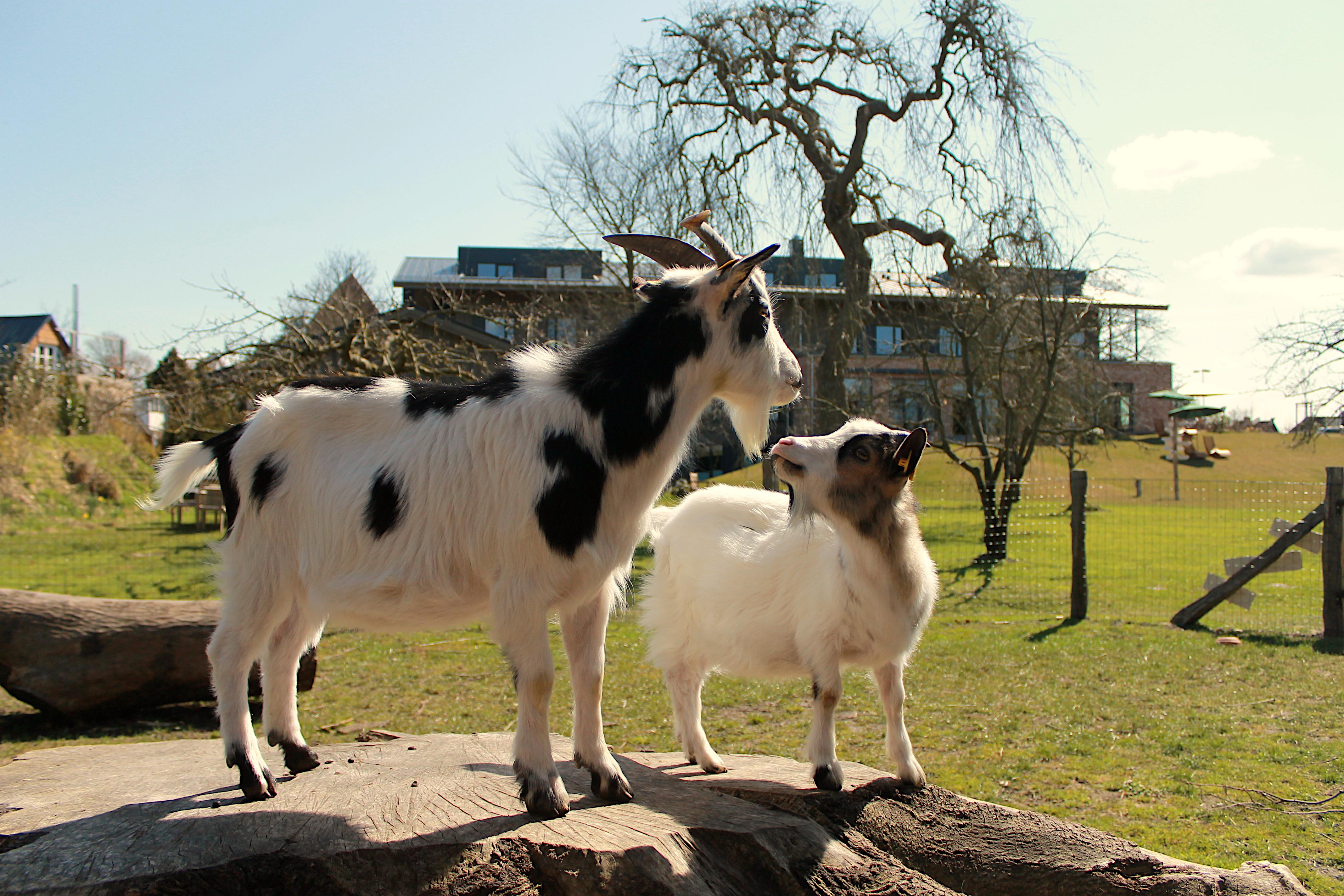 Hotel Landhafen - Ziegen im Obstgarten